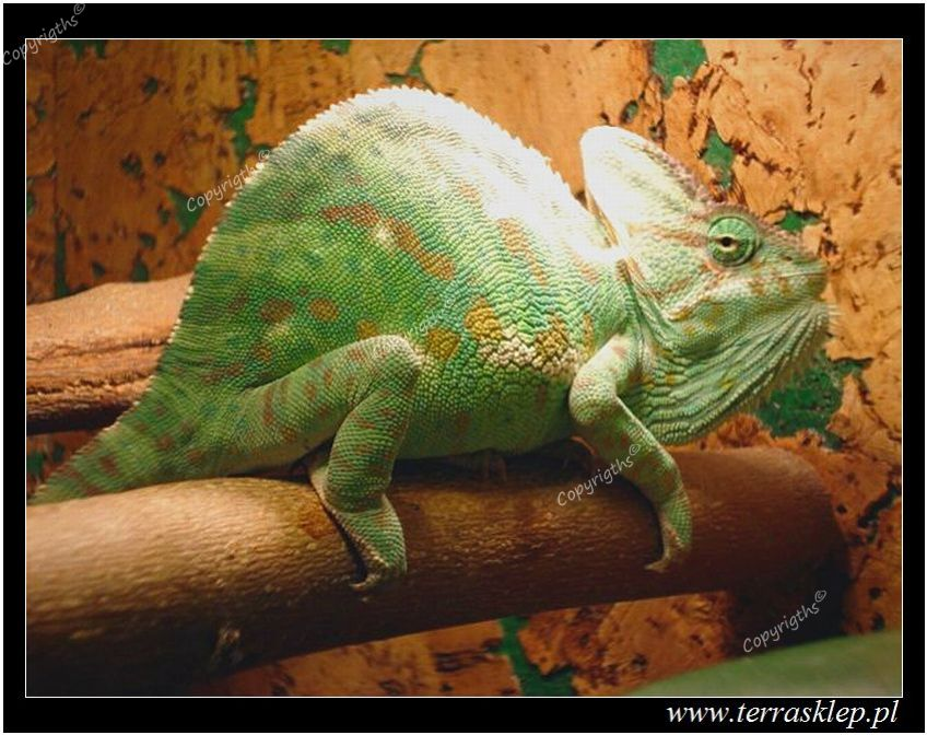Terrarium dla kameleona