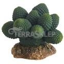 Kaktus Atacama Hobby