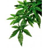 Roślina Abuliton duża EXOTERRA