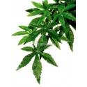 Roślina Abutilon duża EXO TERRA